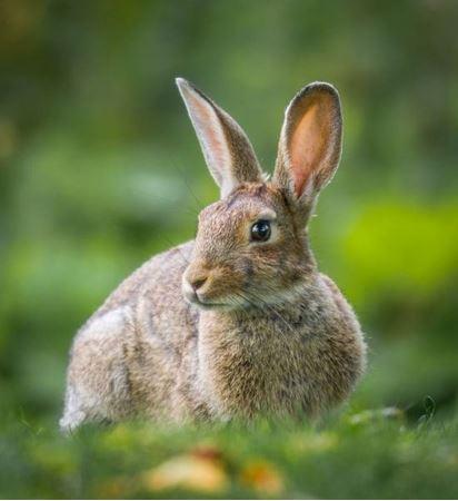Billede til varegruppe Kanin/Hare